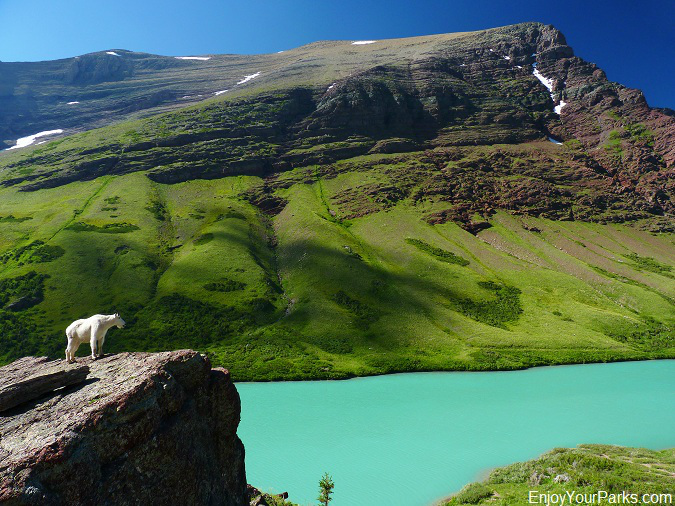 Mountain Goat on Cracker Lake, Glacier Park
