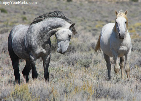 Pilot Butte Wild Horses, Wyoming