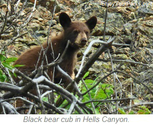 Black bear cub, Hells Canyon National Recreation Area, Idaho