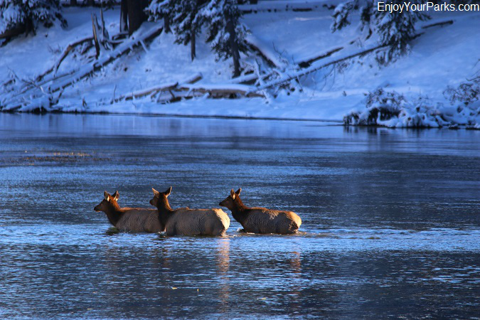 Rocky Mountain Elk crossing Missouri River, Charles M. Russell National Wildlife Refuge, Montana