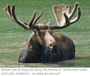 Bull moose, Lake Josephine, Many Glacier Area, Glacier National Park