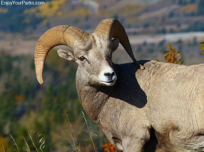 Bighorn sheep, Red Rocks Parkway, Waterton Lakes National Park