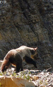 Grizzly Bear, Iceberg Lake Trail, Glacier National Park