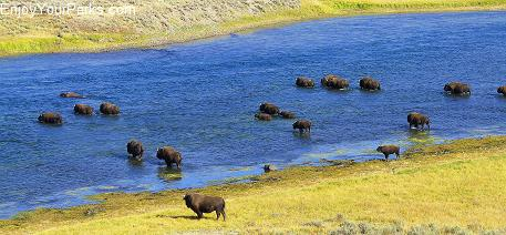 Buffalo crossing the Yellowstone River, Hayden Valley, Yellowstone National Park