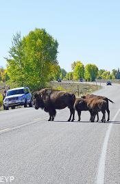 Buffalo, Highway 89 Turnouts and Overlooks, Grand Teton National Park