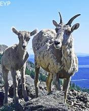 Bighorn sheep ewe and lamb, Mount Washburn - Dunraven Pass Area, Yellowstone National Park
