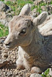 Bighorn sheep lamb, Mount Washburn - Dunraven Pass Area, Yellowstone National Park