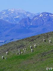 Bighorn sheep, Mount Washburn - Dunraven Pass Area, Yellowstone National Park