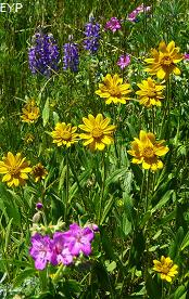 Wildflowers, Mount Washburn - Dunraven Pass Area, Yellowstone National Park