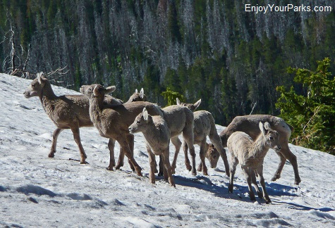 Bighorn sheep lambs, Mount Washburn - Dunraven Pass Area, Yellowstone National Park