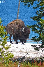 Buffalo, West Thumb Geyser Basin, Yellowstone National Park