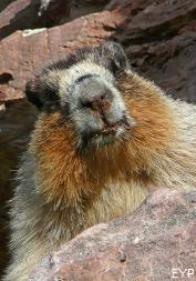 Marmot, Glacier National Park
