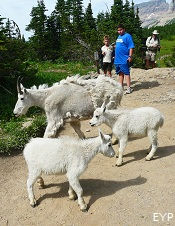 Mountain Goats, Highline Trail, Glacier Park