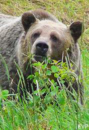 Grizzly Bear, Altyn Peak, Glacier National Park