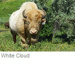 White Cloud, famous white buffalo, Jamestown North Dakota