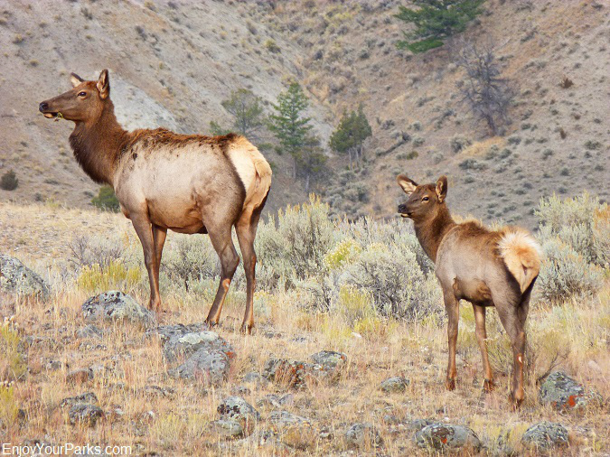 Rocky Mountain Elk, Charles M. Russell National Wildlife Refuge, Montana