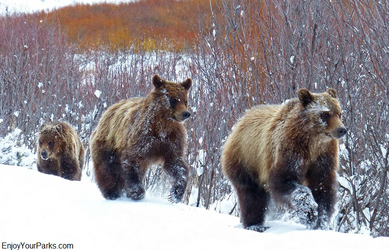 Grizzly bear cubs of the famous grizzly known as 610, Grand Teton National Park
