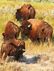 Buffalo, Theordore Roosevelt National Park, North Dakota