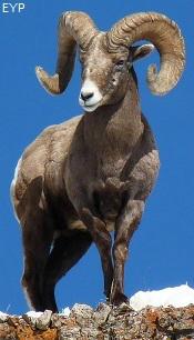 Wyoming Bighorn Sheep Ram