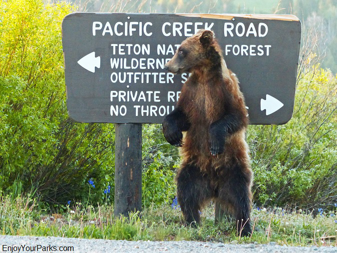 Grizzly bear, Pacific Creek Road sign, Grand Teton National Park
