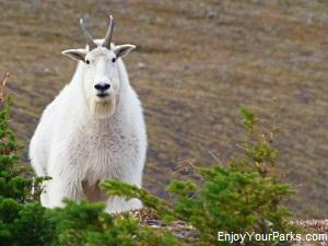 Mountain Goat, Akamina Ridge Trail near Waterton Lakes National Park