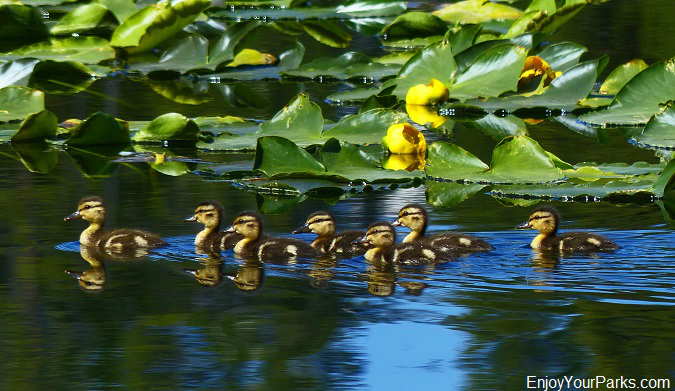 Mallard ducklings on Heron Pond, Grand Teton National Park