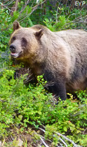 Grizzly Bear, Going To The Sun Road, Glacier National Park