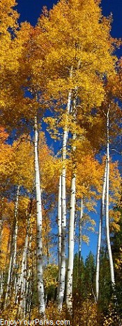 Golden Aspens, Wyoming