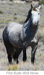 Pilot Butte Wild Horse, Wyoming