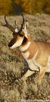 Wyoming Pronghorn