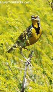 North Dakota Meadow Lark