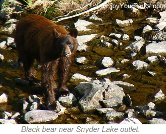 Black bear near Snyder Lake, Glacier National Park