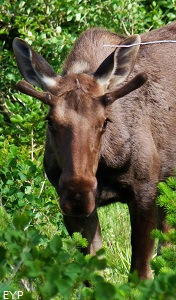 Moose, Swiftcurrent Pass Trail, Glacier National Park