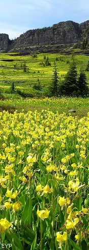Glacier lilies, Swiftcurrent Pass Trail, Glacier National Park