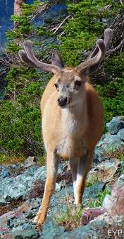 Mule Deer, Granite Park Chalet, Glacier National Park