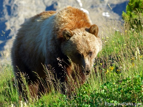 Grizzly Bear, Granite Park Chalet, Glacier National Park