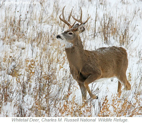 Whitetail Deer, Charles M. Russell National Wildlife Refuge