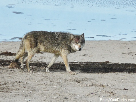 Gray Wolf on Nymph Lake, Yellowstone National Park