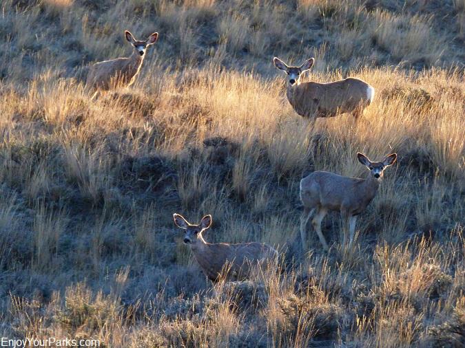 Mule deer, Charles M. Russell National Wildlife Refuge, Montana