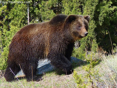 Grizzly bear, Tower Junction, Yellowstone National Park