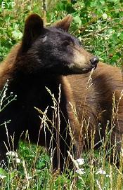 Black bear, Upper Two Medicine Lake, Glacier National Park