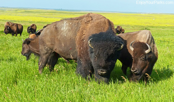 Buffalo herd, South Unit, Theodore Roosevelt National Park