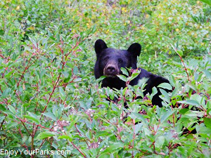 Black bear along the Bertha Lake Trail, Waterton Lakes National Park