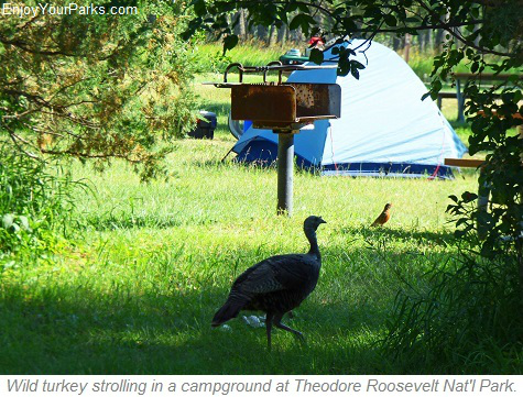 Wild turkey in campground, Theodore Roosevelt National Park