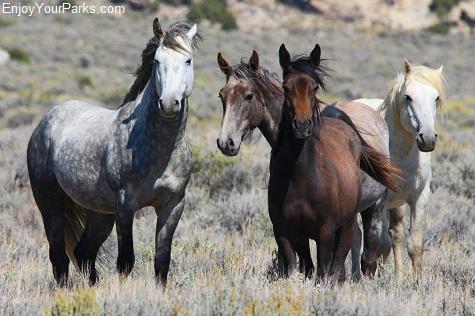 McCullough Peaks Wild Horse Herd