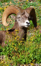 Bighorn sheep, Waterton Lakes National Park