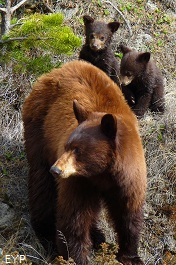 Black bear with cubs, Mammoth Hot Springs, Yellowstone National Park
