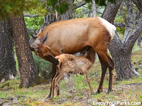 Cow elk with calf, Mammoth Campground, Yellowstone National Park