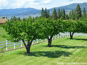 Cherry trees near Flathead Lake Montana