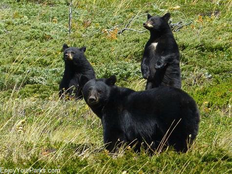 Black bear, Waterton Lakes National Park
